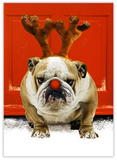 Red Nosed Bulldog